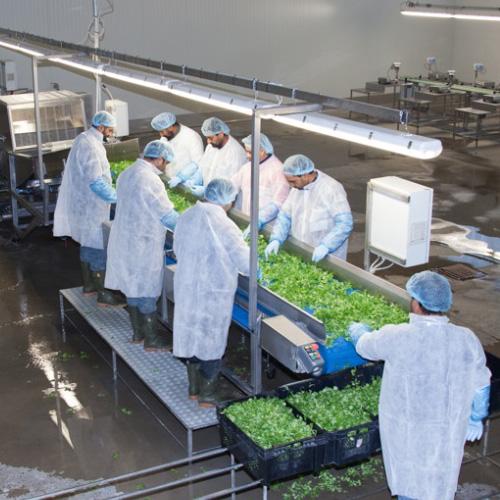 Salat Gemüse Verarbeitungslinie Orticoltura Guidolini