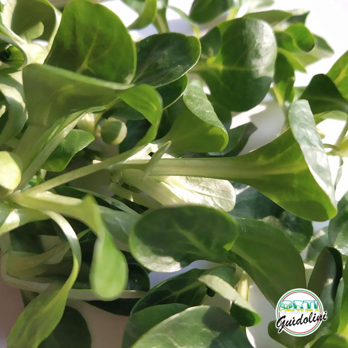 Valeriana, Baby Leaf, Orticoltura Guidolini
